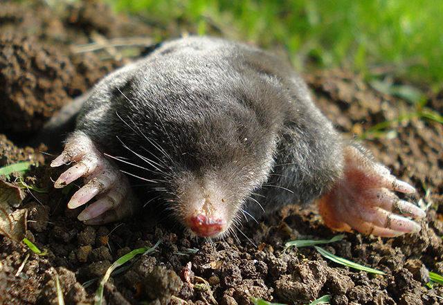 Maulwurf (Bild: Wikipedia/Mick E. Talbot)