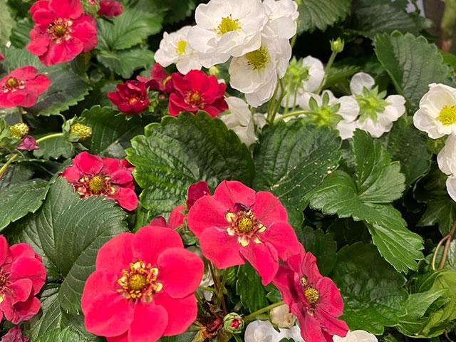 Erdbeeren, die den ganzen Sommer über blühen und tragen