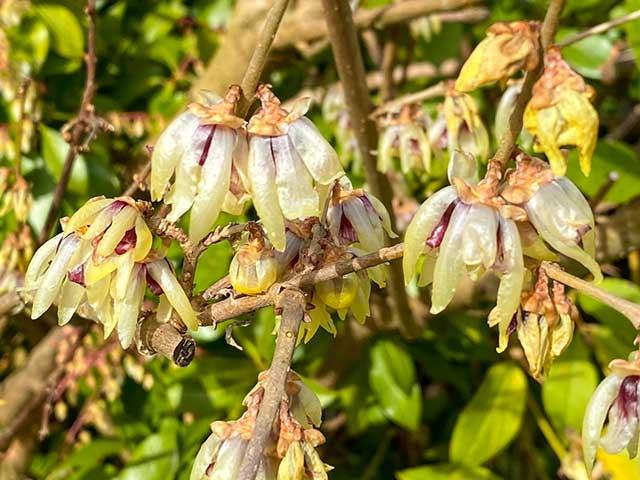 Winterblüte Chimonanthus