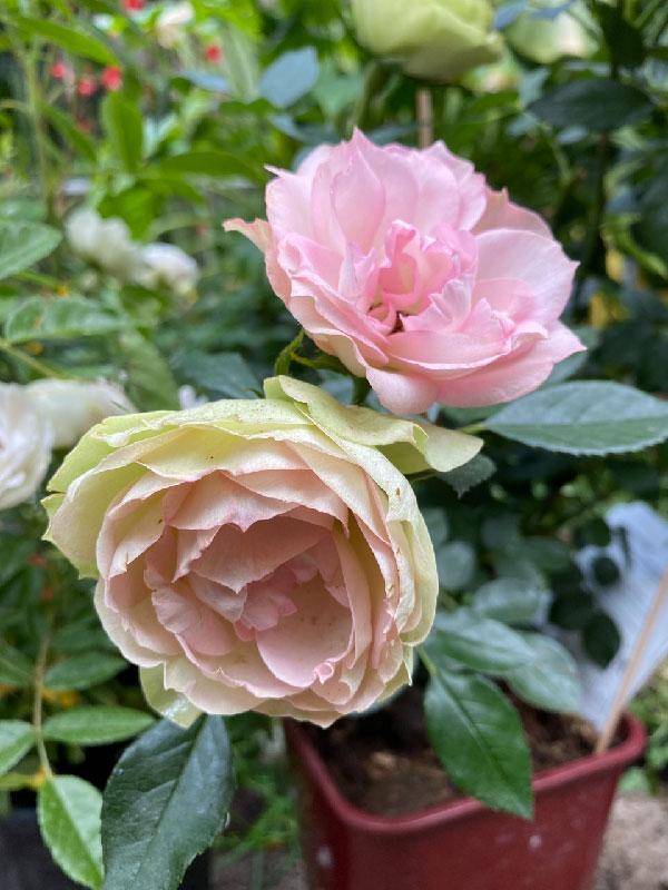 Lovely Rokoko - färbt die Blüte