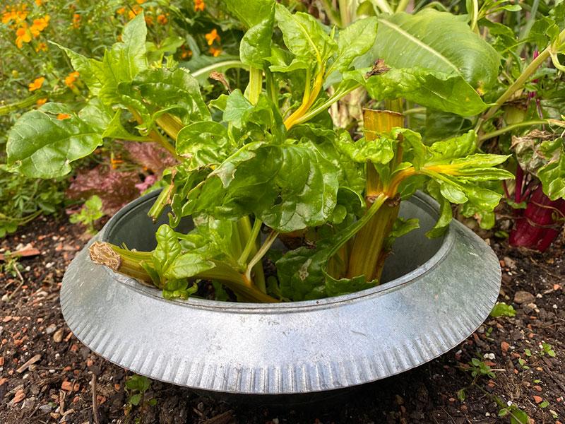 Schneckenzaun für einzelne Pflanzen