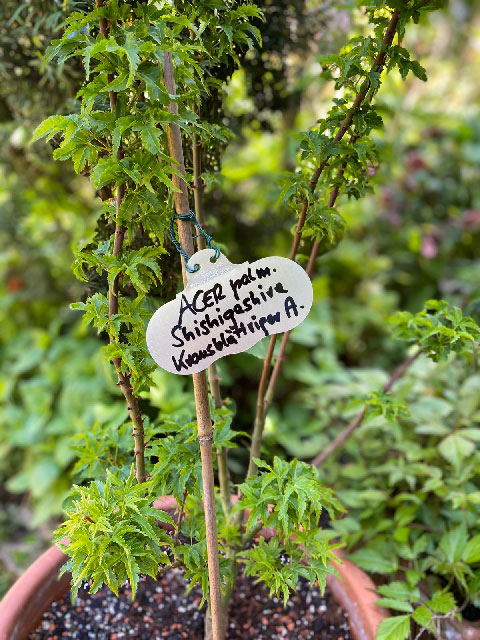 Acer palmatum Shishigashiva (Krausblättriger Ahorn)