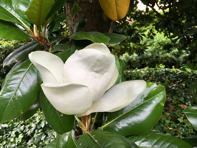 Mittelmeermagnolie (Magnolia grandiflora)