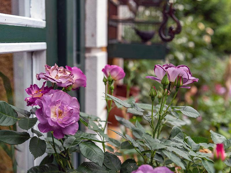 Rose (Cadmos/C. Böhler)