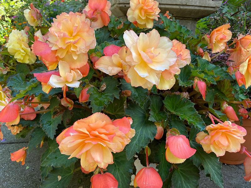 Begonie mit duftenden Blüten