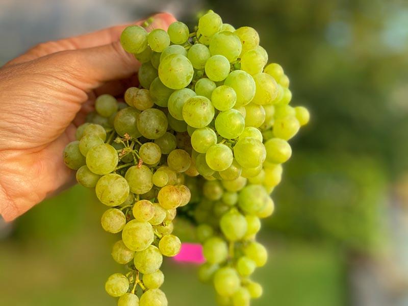 Wein Bianca