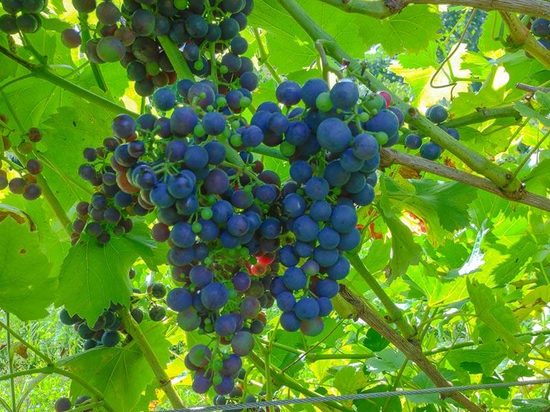 Regent - eine blaue Weintraube