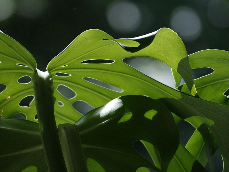 Fensterblatt, Monstera (Bild: Pixabay/Egle P.)