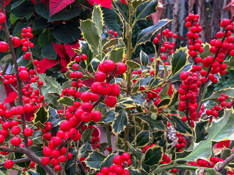 Alex - Saftiges Grün und rote Beeren