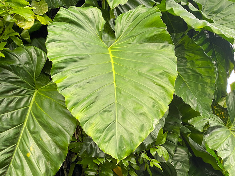 Philodendron am Naturstandort in den Tropen